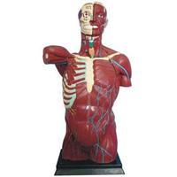 人體軀干模型 JP/10003