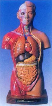 人體解剖模型|28CM男性彩色軀干模型 GD-0208A