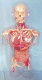 人體解剖模型|上等透明半身軀干可見骨骼、內臟、肌肉模型 KAH-G10002