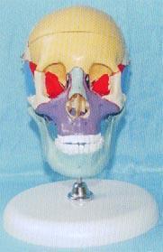 人體解剖模型|**頭骨骨性彩色分離示名稱模型帶立座 GD-0130B013