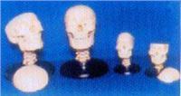 人體骨骼解剖模型|**頭顱骨帶頸椎模型 GD0103E