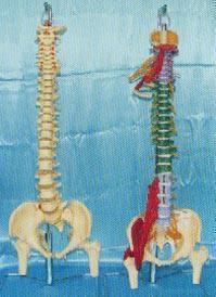 骨骼解剖模型|大型軟脊椎掛座豪華模型、多功能軟脊椎綜合演示模型 GD0148D-GD0148M5
