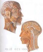 醫學教學模型|頭部正中矢狀切面附血管神經模型 GD/A18210