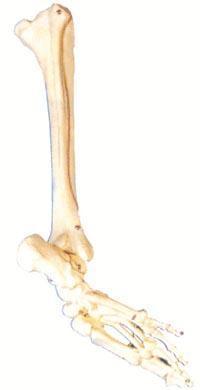 醫學解剖模型|足骨、腓骨與脛骨模型 GD/A11132
