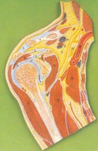 解剖教學模型|肩關節剖面模型 GD/A11202