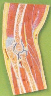 解剖模型|肘關節剖面模型 GD/A11203