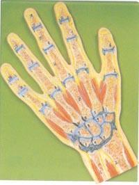 解剖模型|手關節剖面模型 GD/A11204