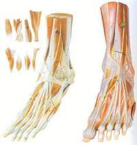 醫學培訓模型|足肌附主要血管神經模型 GD/A11309