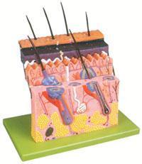 上等解剖模型|皮膚層次切面放大模型 GD/A41001