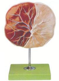 醫學解剖模型|胚胎臍帶模型 GD/A42010/1