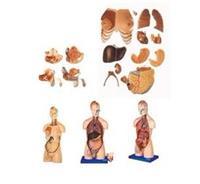 男性、女性外兩性互換人體頭頸軀幹模型 GD/A10002