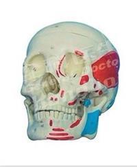 **頭顱骨肌肉著色模型 GD/A11111/2