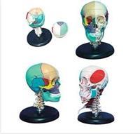 **頭骨左半肌肉著色右半骨色分模型 GD/A11111/3