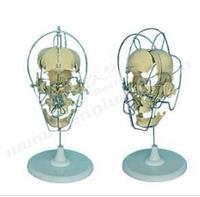 **分離頭顱骨模型 GD/A11116/1