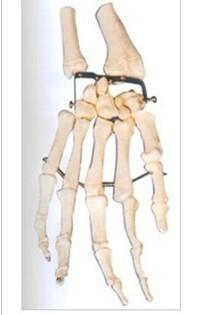 手掌骨模型 GD/A11126