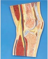 膝關節剖面模型 GD/A11206