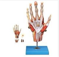 手肌附主要血管神經模型 GD/A11307