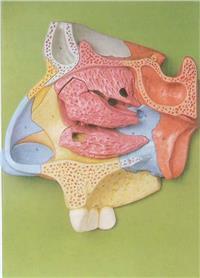 鼻腔放大模型 GD/A13002