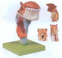喉附舌、牙模型 GD/A13003