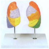 上等肺段模型 GD/A13010
