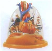 上等心髒與透明肺、氣管、支氣管樹模型 GD/A13013