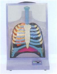 上等電動人體呼吸係統模型 GD/A13015