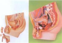 上等男性盆腔正中矢狀切麵模型 GD/A15101