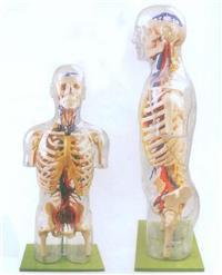 上等透明半身軀幹附血管神經模型  GD/A10005