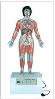 上等微電腦人體心動周期與大、小循環演示儀 GD/A16005/1