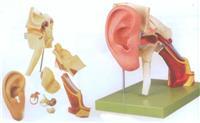 上等耳結構放大模型    GD/A17202