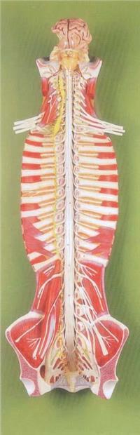 上等椎管內部脊髓神經模型 GD/A18102