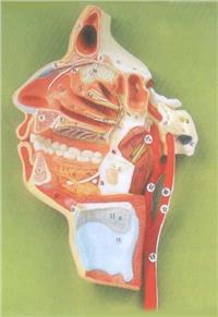 上等口、鼻、咽、喉內側麵血管神經模型 GD/A18108
