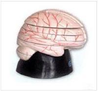 上等腦水平切麵模型 GD/A18208