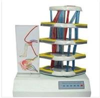 上等脊髓反射與損傷表現電動模型  GD/A18225