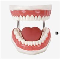 牙護理保健模型  GD/H11