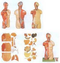 男性、女性外兩性互換肌肉內髒背部開放式頭頸軀幹模型 GD/A10003