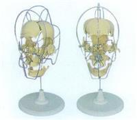 GD/A11116/1**分離頭顱骨模型 GD/A11116/1
