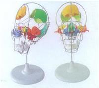 GD/A11116/2**分離頭顱骨著色模型 GD/A11116/2