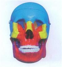 GD/A11118顱骨分離模型 GD/A11118