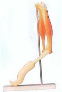 GD/A11210肘關節與肌肉示教模型 GD/A11210