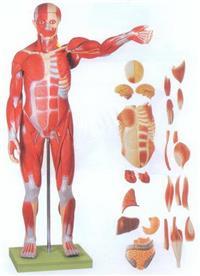GD/A11301/2人體全身肌肉附內髒模型(自然大) GD/A11301/2