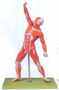 GD/A11303人體全身肌肉運動模型 GD/A11303
