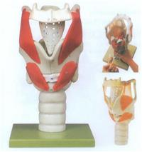 GD/A11305上肢肌肉附血管神經模型 GD/A11305