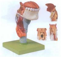 GD/A13003喉連舌、牙模型 GD/A13003