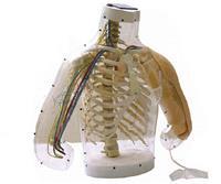 上等上臂肌肉注射及對比模型(帶檢測警示系統) KAB/H30