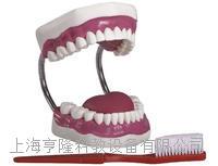 牙護理保健模型(放大五倍) KAH-11A