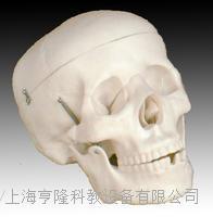自然大頭骨模型 KAH/A104