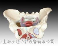 女性骨盆及盆底肌肉模型 KAH/A125