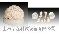 腦動脈模型 KAH/A308