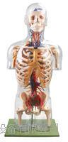 透明半身軀干附血管神經模型 KAH/A10005